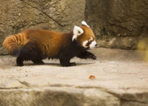 VIRAL: Watch Cutest Red Panda in the World Being Adorable
