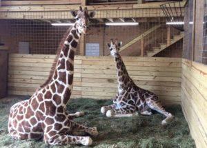 Animal Adventure Helps April, the Giraffe Star