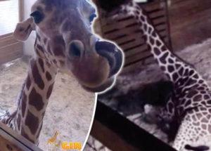 April the Giraffe Live Cam Update Returns