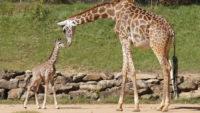 Giraffe Calf Makes First Public Appearance at Dallas Zoo