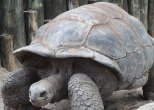 Aboo The Lost Giant Tortoise Was Found After Two Weeks