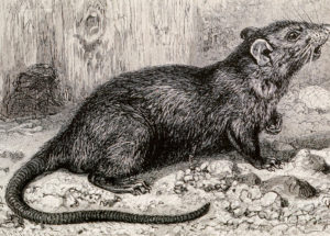Disturbing Discovery: Fleas Carrying the Bubonic Plague