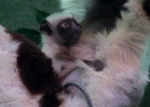 Cincinnati Zoo Has a New Lemur Baby Animal