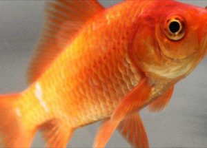 Goldfish Survive on Alcohol When Trapped in Icy Waters