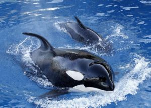 42-Year-Old Killer Whale Was Euthanized At SeaWorld