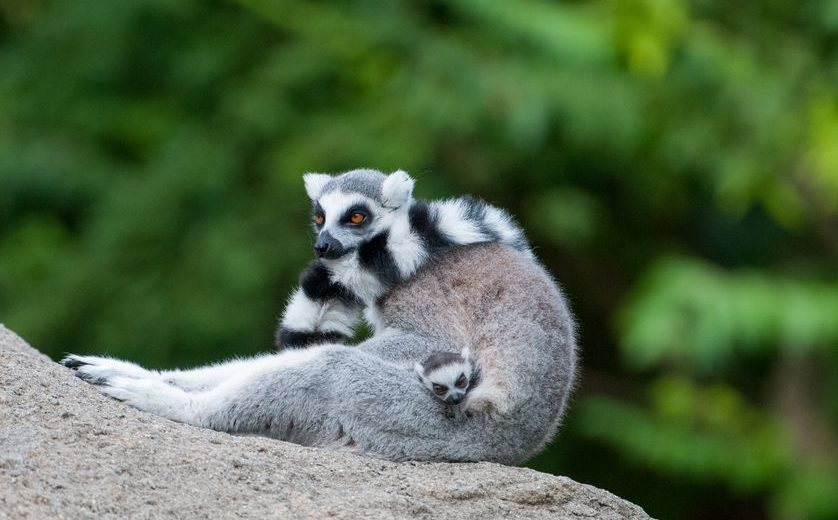 Ring Tailed Lemur Baby Cincinnati