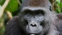 Sick Gorilla Dies Of Cancer At Topeka Zoo