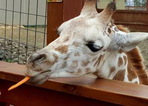 PETA Accuses The Animal Adventure Park For Endangering April The Pregnant Giraffe