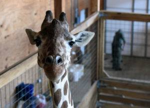 April the Giraffe Is Pregnant Again at 7 Months After Giving Birth to Tajiri