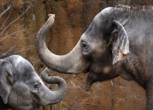 Ellie The Asian Elephant at St. Louis Zoo is on Antibiotics Treatment for Tuberculosis