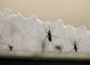 Laboratory mosquitoes could be released in nature for killing insects carrying dangerous viruses such as Zika