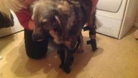 This One-Legged Dog Learns to Walk Again After Getting Three Prosthetic Limbs