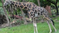 Giraffe From Alipore Zoological Garden Dies While Being Transported to the City Zoo