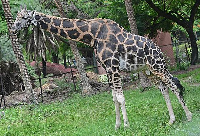 Giraffe From Alipore Zoological Garden Dies While Being Transported ...