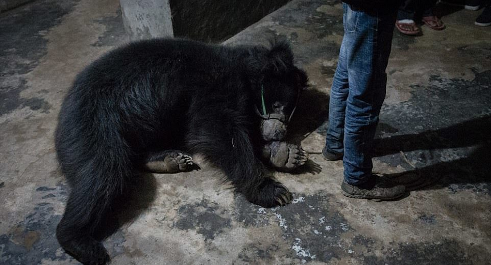 Last two dancing bears rescued from 'lifetime of suffering' in Nepal