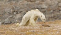 Scientists Films Dying Polar Bears Because of Starvation While Crying