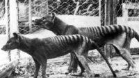 New Studies Based on Tasmanian Tigers, Their Poor Genetic Health