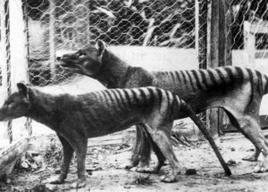 New Studies Based on Tasmanian Tigers, Their Poor Genetic Health