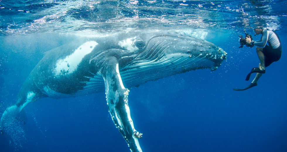 Humpback Whale Protects Snorkeler From Tiger Shark Attack