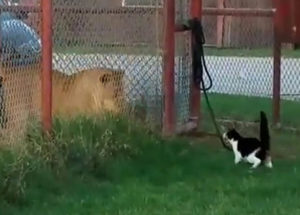 Kitten Challenges Lion And You Won't Believe His Reaction