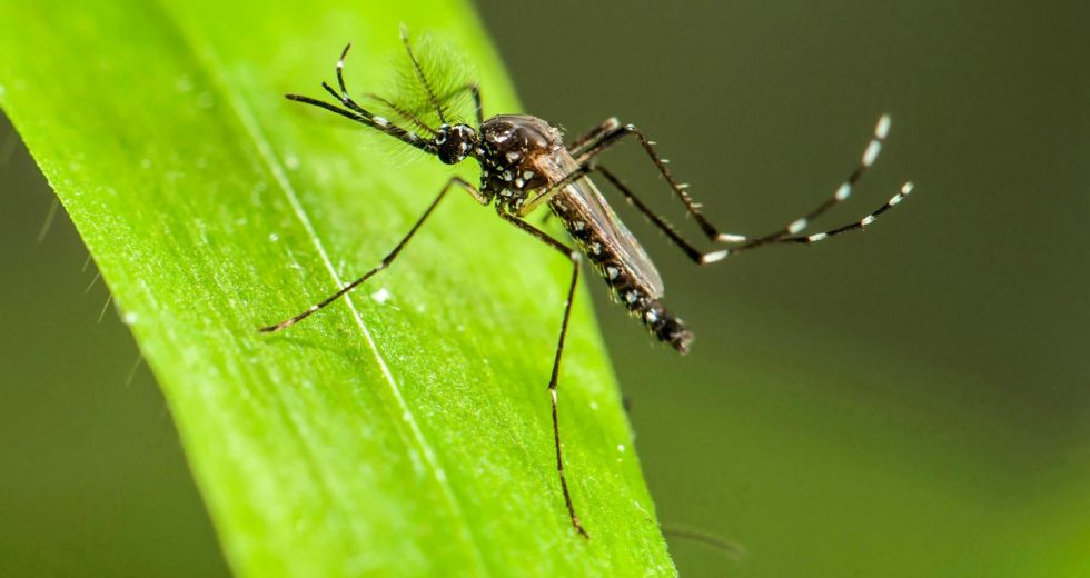 A Sterility Bug Will Be Used To Kill Mosquitoes Population
