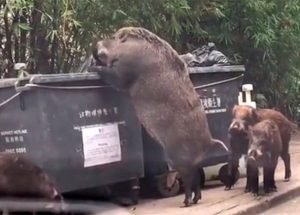 A Giant Wild Boar Was Filmed While It Was Searching For Food In A Dumpster
