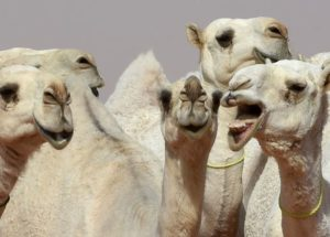 Beauty Contest For Camels: 12 Animals Were Disqualified After Being Injected With Botox