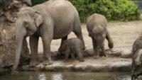 The Dublin Zoo has a New Inhabitant – A Cute Baby Asian Elephant