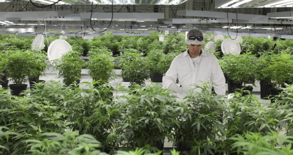 Medical cannabis significantly safer for elderly with chronic pain than opioids