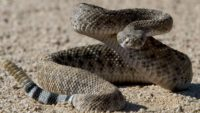 Peptides In The South American Rattlesnake Venom Fight Against Antibiotic-Resistant Bacteria