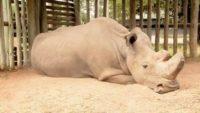The Last Northern White Rhinoceros Male, Sudan, Died