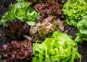 The Health Benefits Of Lettuce For Your Body