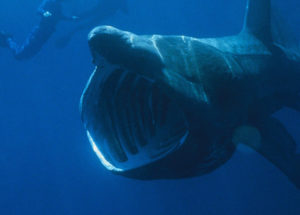 Scientists Baffled by Basking Sharks Joining in Enormous Groups