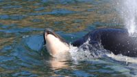 An Orca Carried Her Dead Calf on an Emotional, Weekslong Journey