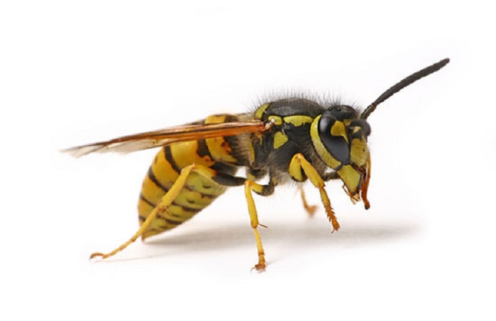 Drunk Wasps Attack Britain Hospitalizing Children And Challenging The Pest Control Workers