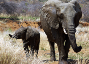 """Zombie"" Gene Is What Protects The Elephants From Cancer"