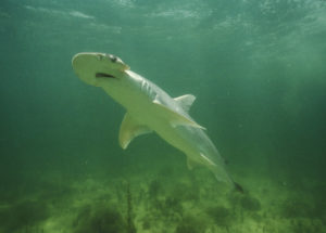 Scientists Discovered the First Vegetarian Shark