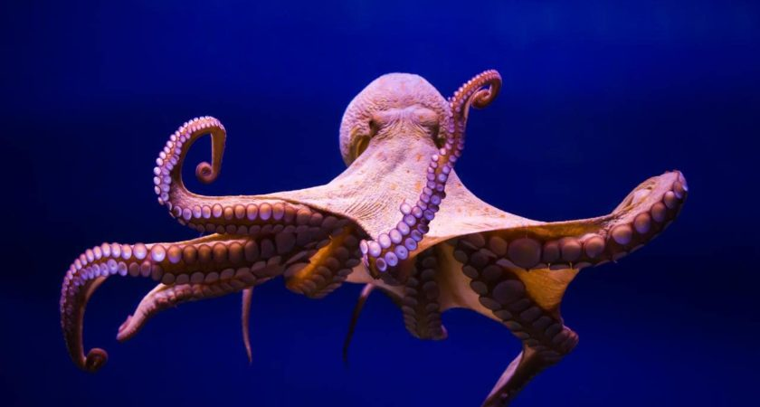 Octopuses On Ecsatsy Become Unusually Sociable and Sensitive