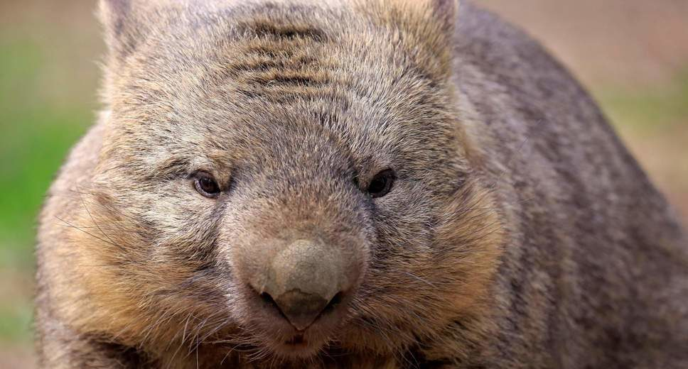 Mystery Solved: Why the Poop Made by Wombats Is Squared
