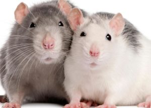 Rats and Human Share The Same Selective Forgetting Mechanism In The Brain