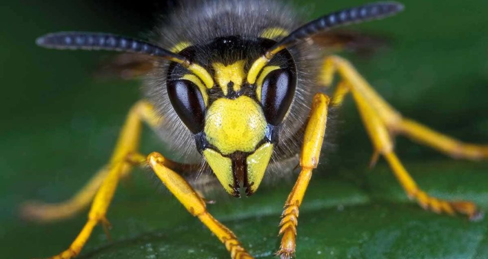 New Species of Wasps Can Turn Prey Into Zombie Slaves