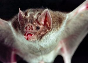 Vampire Bats Swap Blood From One To Another For Bonding