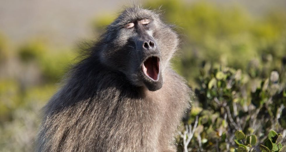 Monkeys And Humans Share A Key Grammar-Related Skill, Study Shows