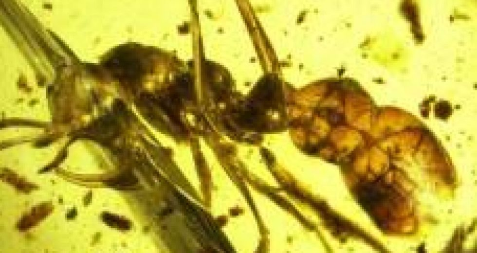 """Ancient Fossil Shows Prehistoric """"hell Ant"""" Using Peculiar Scythe To Kill Prey"""