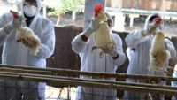 H5N8 Bird Flu is Detected on Humans for the First Time