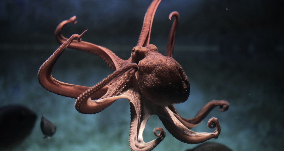 Octopuses Astonish Researchers by Their Unique Way of Keeping Tentacles Out of Danger