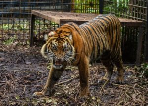 Endangered Tigers Escape From Captivity and Kill Zookeeper