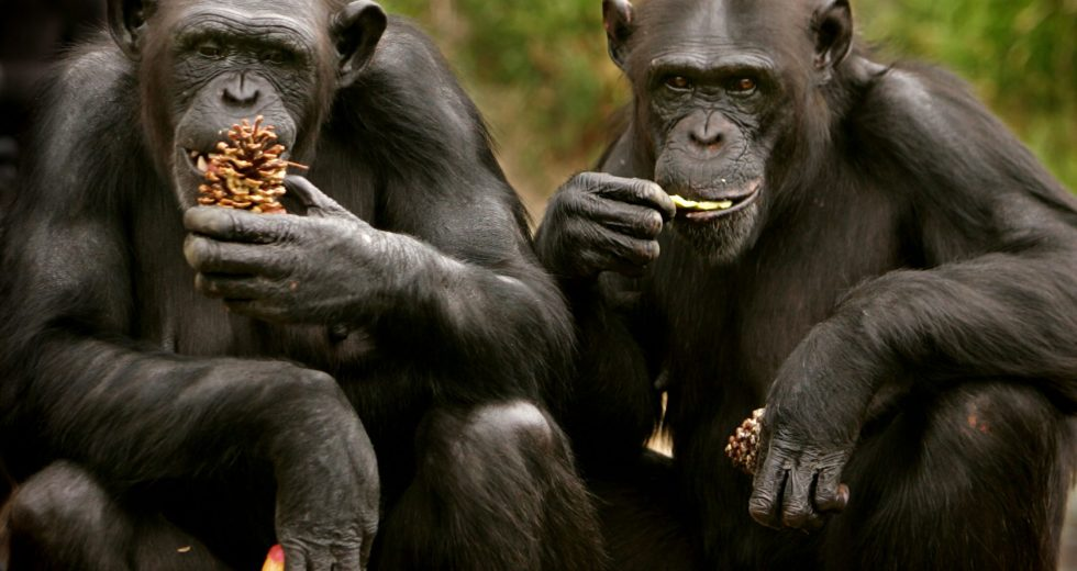 This Zoo Vaccinates Apes for COVID-19