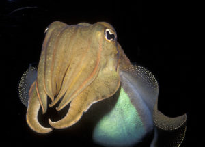 Highly-Intelligent Cuttlefish? The Marine Creatures Are Discovered to Be Able of Exerting Self-Control