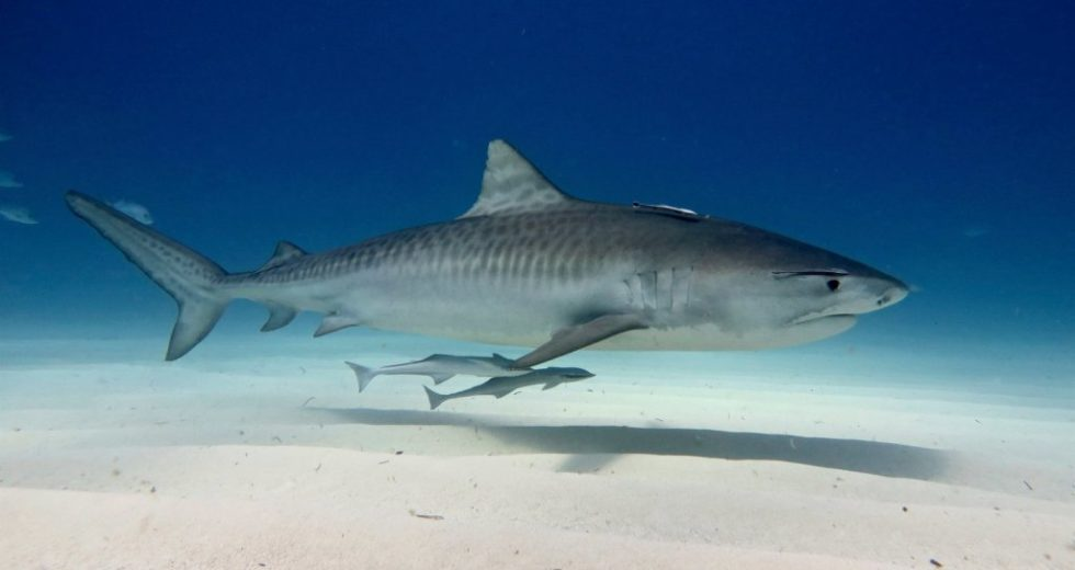 Sharks Use This Unique Method To Navigate Precisely Through The Seas